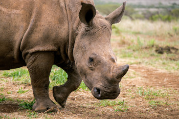 We're There For the South African Rhino image